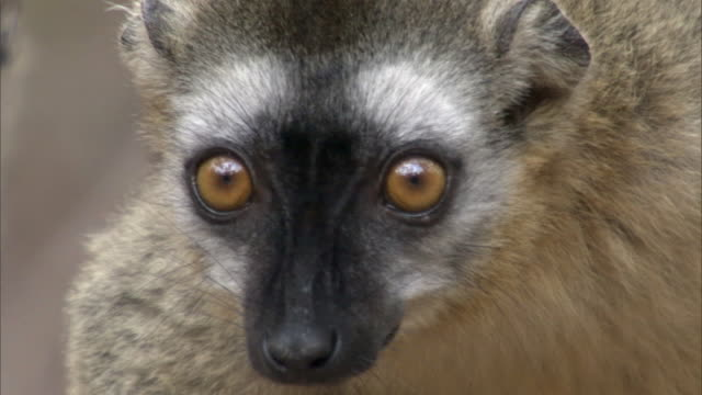 Red fronted brown lemur (Eulemur rufifrons) looks around, Madagascar