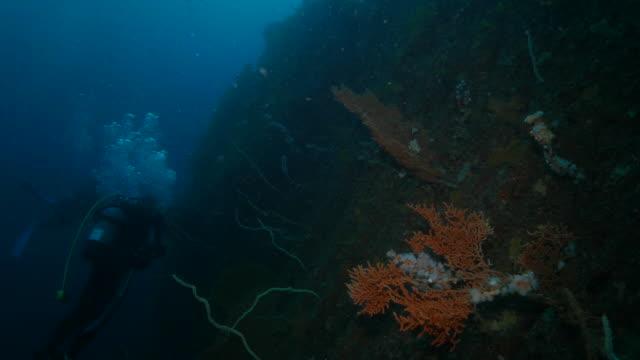 Rode Hoornkoralen koraal (zee fan), zweep koraal, onderzeese rif, Japan
