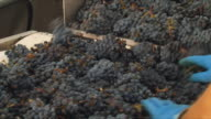 CU Red grapes being poured in vineyard / Bordeaux, Gironde, France
