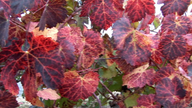 Red grapes leaves