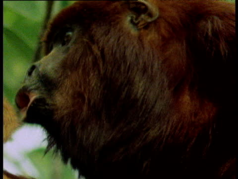 Red Howler monkey calling and swaying in green jungle canopy as it swings its head form side to side, Venezuela