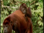 CU Red howler monkey mother with baby scratching on back, South America