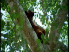 Red howler monkey relaxes and scratches in fork of tree, Brazil