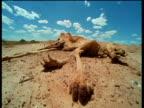 Red kangaroo corpse lies on baking outback