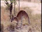 Red Kangaroo lopes through grass using muscular tail as a fifth leg, Australia