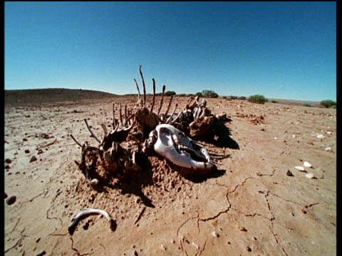 Red kangaroo skeleton lies on baking outback