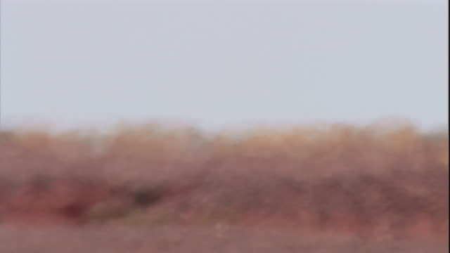 Red kangaroos hop across the outback, New South Wales. Available in HD.