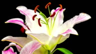 Red lily flower blooming in a time lapse video on a black background. Time lapse of Stargazer Lilium in motion.