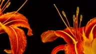 Red lily flower blooming in a time lapse video on a black background. Time lapse of Lilium in motion.