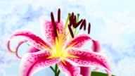 Red lily flower blooming in a time lapse video on a blue background. Time lapse of Stargazer Lilium in motion.