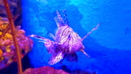 Red lionfish, Pterois volitans from Indian and Pacific Oceans