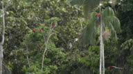 Red Macaws Perched in Palm Tree, including fly by, High speed
