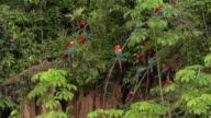 Red Macaws perched on clay lick, movement, high speed