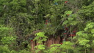 Red Macaws perched on clay lick, some fly, wide high speed
