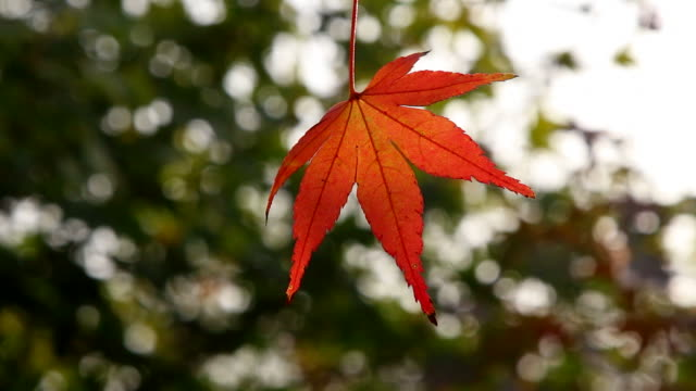 red maple leaves waving in bright sunlight