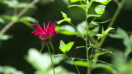 Red monarda in forest, nice light slow panning landscape shot