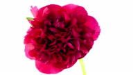 Red Peony; TIME LAPSE