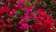 Red & Pink Bougainvillea Flowers