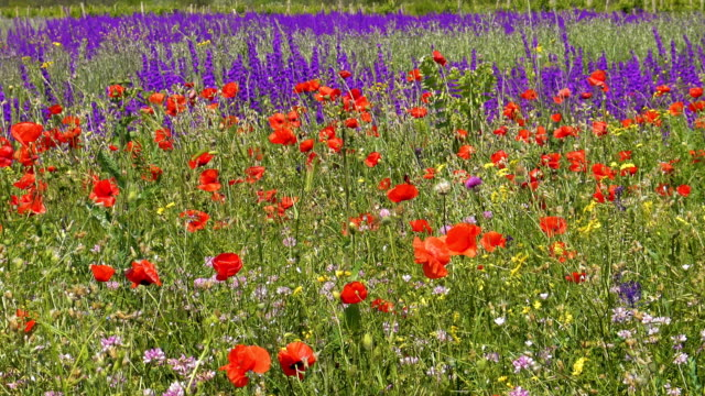 Red poppies and wild flowers on green meadow