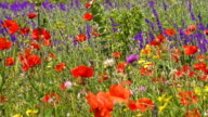 Red poppies and yellow wildflowers