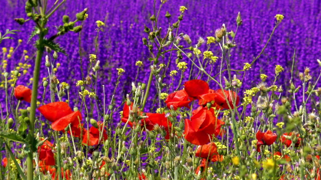 Red poppies on background of purple wild flowers