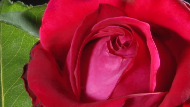 HD TIMELAPSE: Red Rose Blooming