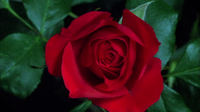 Red rose blossoming Available in HD.