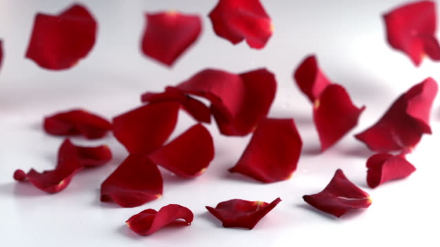 Red rose petals falling down