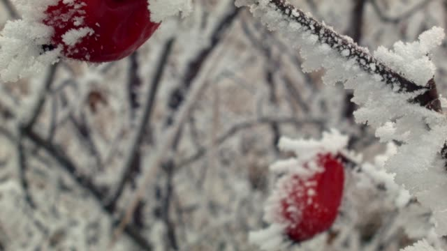 Red Rosehips (Rosa) Covered in Winter Hoar Frost ,dolly shot