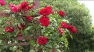 CU, Red roses growing on wooden frame, Sneem, Ireland