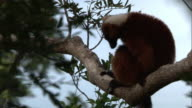 Red ruffed lemur (Varecia rubra) grooms in tree in forest, Madagascar