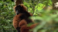 Red ruffed lemur (Varecia rubra) lies back in tree in forest, Madagascar