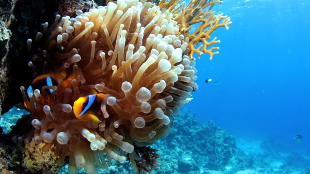 Red Sea Anemonefish (Nemo)