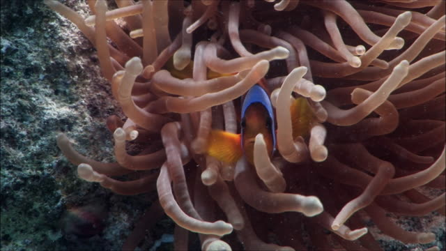 CU Red Sea clownfish (Amphiprion bicinctus) hiding in anemone in Red Sea / Sharm-el-Sheikh, Egypt