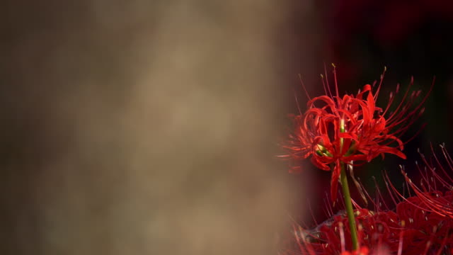 Red spider lily garden in dolly motion behind tree