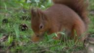 Red squirrel (Sciurus vulgaris) buries hazel nut in park, Scotland, UK
