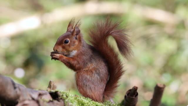 MS Red squirrel eating hazelnut / vieux pont en auge, Normandy, France