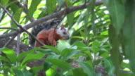 Red squirrel eating mangos