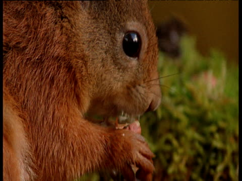 Red squirrel eating nut held in its paws, Caerlaverock National Nature Reserve
