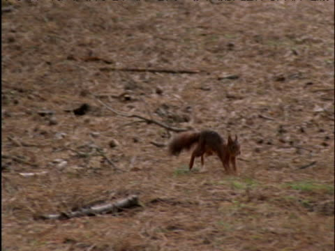 Red squirrel runs and forages in pine forest
