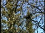 MS Red squirrels, Tamiasciurus hudsonicus, running through trees, Arctic Circle