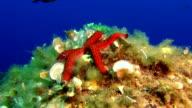 MS SLO MO Red starfish (Echinaster) in the Mediterranean sea