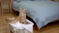 Red tabby Maine coon sitting in laundry basket at foot of bed / looking around and yawning