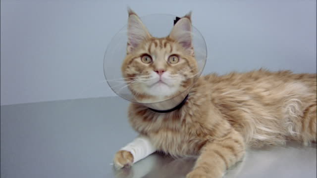 Red tabby Maine coon with front leg wrapped in bandage wearing recovery collar