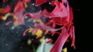 SLO, MO, LD rote Tulpe explodiert in Stücke