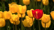 Red Tulip with Yellow Tulips