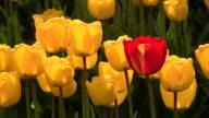 Tulipano rosso con tulipani gialli