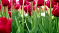 Red tulips - dolly shot