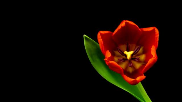 Rote Tulpen Zeitraffer