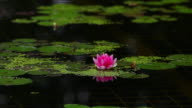CU Red Water Lily Floating on a Pond
